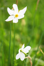Two narcissuses in valley of narcissi in khust ukraine Royalty Free Stock Photos