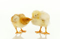 Two newborn chickens Stock Images