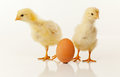 Two newborn chickens with egg Stock Photos