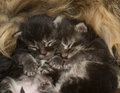 Two newborn kittens sleeping beside his mother Royalty Free Stock Photo