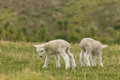 Two newborn lambs on grassy meadow Royalty Free Stock Photo