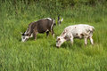 Two Nguni bulls feeding on green grass Stock Photos