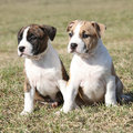 Two nice puppies of american staffordshire terrier little together in exterier Royalty Free Stock Photos