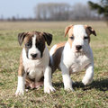 Two nice puppies of american staffordshire terrier little together in exterier Stock Images