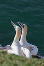 Two northern gannet sitting on coast wit see background Royalty Free Stock Photos