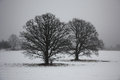 Two oaks in a fog among snow field black silhouettes of old are visible Royalty Free Stock Photos