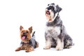 Two obedient dogs sitting to command a yorkshire terrier and schnauzer with their attention fixed on their owner on white Royalty Free Stock Photography