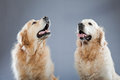 Two old golden retriever dogs together. Stock Image
