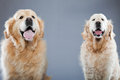 Two old golden retriever dogs together. Stock Images