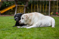 Two old labradors lying together on the grass in a graden Stock Photo