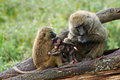 Two olive baboons with a young one Stock Image