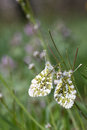 Two orange tip butterflies anthocharis cardamines mating on a flowering green grass close up detailed side view Stock Photo