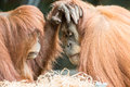 Two Orangutans Touch Each Other on the Face Royalty Free Stock Photo