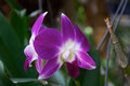 Two orchid blooms purple and white outside in garden at eye level Royalty Free Stock Images
