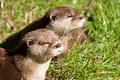 Two Oriental Small-Clawed Otters resting Royalty Free Stock Photography