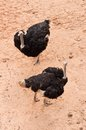 Two Ostriches in Bird Eye View Royalty Free Stock Images