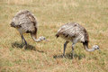 Two ostriches are walking on grassfield Stock Photos