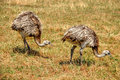 Two ostriches are wlking on grassfield Royalty Free Stock Photo