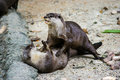 Two otters playing in the garden Royalty Free Stock Photo