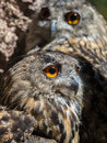 Two owls bubo bubo with yellow eyes Royalty Free Stock Photo