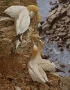Two pairs of gannets northern inspect each other on the cliffs at bempton in yorkshire england Royalty Free Stock Images