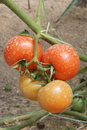Two pairs of tomatoes Stock Image
