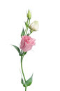 Two pale pink Eustoma flowers Royalty Free Stock Photo