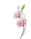 Two pale pink flowers Royalty Free Stock Photo