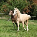Two palomino horses running on pasturage in autumn Royalty Free Stock Photography
