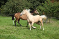 Two palomino horses running on pasturage in autumn Royalty Free Stock Image