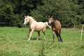 Two palomino horses running on pasturage in autumn Royalty Free Stock Images