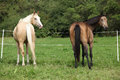 Two palomino horses running on pasturage in autumn Stock Photography