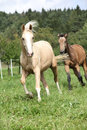 Two palomino horses running on pasturage in autumn Stock Image