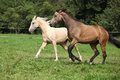 Two palomino horses running on pasturage in autumn Royalty Free Stock Photo