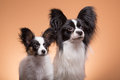 Two papillon dogs on pink background beautiful small with large black ears Stock Image