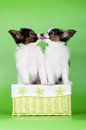Two papillon puppies basket Royalty Free Stock Photo