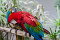 Two parrot birds one digging flees cleaning others neck feathers Stock Photos