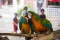Two Parrot play. Royalty Free Stock Photo