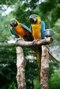 Two parrots Stock Photography
