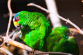 Two parrots amazon white fronted Royalty Free Stock Photography