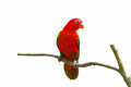 Two parrots on branch on white bavkground with paths Royalty Free Stock Photo