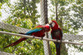Two parrots kissing Royalty Free Stock Photo