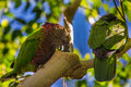 Two parrots in a tree Royalty Free Stock Photography