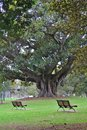 stock image of  Two peaceful benches by a big tree
