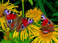 Two peacock butterflies europeanpeacock sitting on yellow flowers Stock Photo