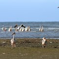 Two pelicans on the beach pelecanus onocrotalus standing Stock Image
