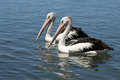 Two pelicans Royalty Free Stock Photo