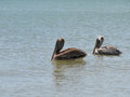 Two Pelicans Floating in the Ocean Royalty Free Stock Photo