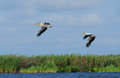 Two pelicans flying danube delta Royalty Free Stock Images