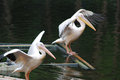 Two pelicans spreading its wings Royalty Free Stock Images